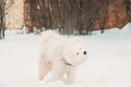 White Samoyed Dog Or Bjelkier, Smiley, Sammy Dog Shakes Off Snow Outdoor In Winter Season. Playful - PhotoDune Item for Sale