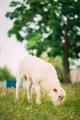 Domestic Small Sheep Lamb Grazing Feeding In Pasture. Sheep Farming - PhotoDune Item for Sale