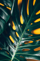 Tropical monstera leaves on yellow - PhotoDune Item for Sale