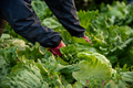 Hands Picking a Lettuce from Garden Bed - PhotoDune Item for Sale