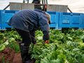 Rear View of a Woman Cutting a Lettuce from a Garden bed in a Farm - PhotoDune Item for Sale