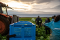 Group of People Harvesting Lettuce in a Farmland. Farm Workers - PhotoDune Item for Sale