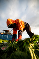 Front View of a Woman Harvesting Lettuce with a Knife. Farm Worker - PhotoDune Item for Sale