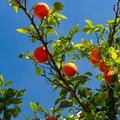 Citrus Orange tree with ripe fruits against blue sky - PhotoDune Item for Sale
