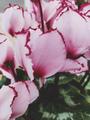 Amazing cyclamen in bloom in winter - PhotoDune Item for Sale