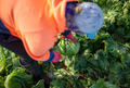 Top View of a Woman Harvesting Lettuce in a Farm. Farm Worker - PhotoDune Item for Sale