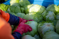 Top View of Hands Picking Lettuce from a Bin in a Farm . Australia Farm Worker - PhotoDune Item for Sale
