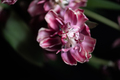Close up of dried parrot tulips. - PhotoDune Item for Sale