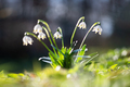 Snowdrop flower on spring meadow - PhotoDune Item for Sale