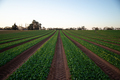 Spinach Agricultural Field before the Harvest. Farm Work - PhotoDune Item for Sale