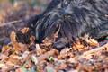 Bergamasco Shepherd dog - PhotoDune Item for Sale