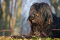 Portrait of black shepherd dog - PhotoDune Item for Sale