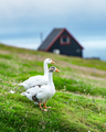 White domestic geese on green grass pasture - PhotoDune Item for Sale