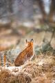 Eurasian lynx looking into the forest in winter - PhotoDune Item for Sale