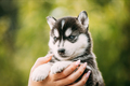 Four-week-old Husky Puppy Of White-gray-black Color Sitting In Hands Of Owner - PhotoDune Item for Sale
