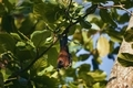 Portrait of Indian Fruit Bat (species of flying fox) on tree in wild nature - PhotoDune Item for Sale
