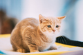 Small Cute Scottish Cat Kitten With Straight Ears At Blurred Indoor Background. Scottish Cat Kitten - PhotoDune Item for Sale