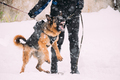 Training Of Purebred German Shepherd Young Dog Or Alsatian Wolf Dog. Attack And Defence. Winter - PhotoDune Item for Sale