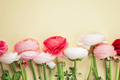 Pink and white ranunculus flowers on yellow background. Flat lay - PhotoDune Item for Sale