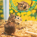 Meriones Unguiculatus, The Mongolian Jird Or Mongolian Gerbil Is A Rodent Belonging To Subfamily - PhotoDune Item for Sale