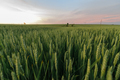 Green wheat at sunset. Close-up shot. - PhotoDune Item for Sale