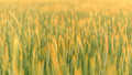 Wheat at sunset. Close-up shot. - PhotoDune Item for Sale