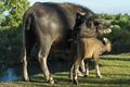 water buffalo - PhotoDune Item for Sale