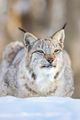 Closeup of alert brown lynx relaxing on snow - PhotoDune Item for Sale