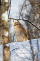 Eurasian lynx sitting on snow seen through bare trees - PhotoDune Item for Sale