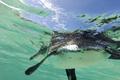 Galapagos penguin swimming underwater. Galagapos, Ecuador - PhotoDune Item for Sale