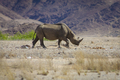 Wild black rhino in the Kaokoland, Namibia - PhotoDune Item for Sale