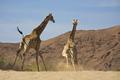 Giraffes running towards the desert and mountains - PhotoDune Item for Sale