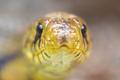 Yellow snake python Head, Costa Rica - PhotoDune Item for Sale