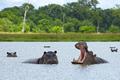 Hippopotamus in Okavango Delta - Moremi National Park in Botswana - PhotoDune Item for Sale