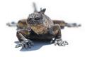 Marine iguana in the Galapagos islands - PhotoDune Item for Sale