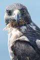 Galapagos Hawk, Galapagos Islands, Ecuador - PhotoDune Item for Sale