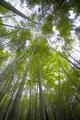 Sunlight shining through bamboo - PhotoDune Item for Sale