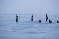 Silhouette of Birds perching on concrete pillars, Lake Maracaibo, Venezuela - PhotoDune Item for Sale