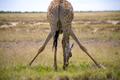 Giraffe in Etosha - PhotoDune Item for Sale