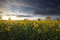 rapeseed flower field in sunny day - PhotoDune Item for Sale