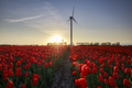 field of red tulips and turbine at sunset - PhotoDune Item for Sale
