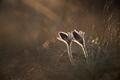 Black pasque flower - PhotoDune Item for Sale