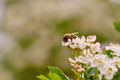 Close-up photo of a bee pollinating a white flower - PhotoDune Item for Sale