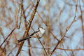 Long-tailed tit - PhotoDune Item for Sale