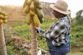 Senior african farmer woman working at garden while picking up papaya fruit - Focus on hat - PhotoDune Item for Sale