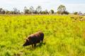 Pigs on a Farm in Australia - PhotoDune Item for Sale