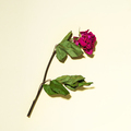 Dry rose with leaves on a yellow background - PhotoDune Item for Sale