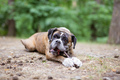 Boxer dog chewing on stick while lying down outdoors - PhotoDune Item for Sale