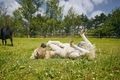 Foal of miniature horse lying on back in grass - PhotoDune Item for Sale