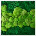 Green wall decoration cladonia rangiferina reindeer moss - PhotoDune Item for Sale